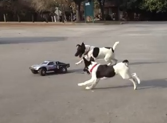 Dogs Go Nuts for Remote Control Car