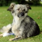 One-Legged Romanian Dog Rescued and Adopted by British Couple