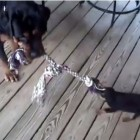 Brave Puppy Takes on Adult in Tug-of-War