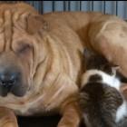 Shar Pei Adopts Abandoned Kitten