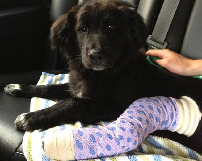 Puppy Needs Help After Being Thrown From a Balcony