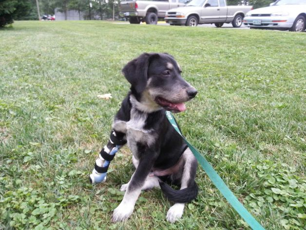 Puppy Ready for Adoption after Receiving Prosthetic Paw