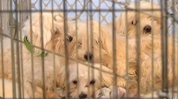 Owner Surrenders 46 Purebred Maltese