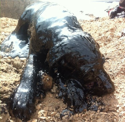 Good Samaritans Rescue Dogs from Tar Pit