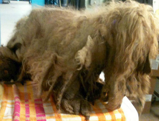 Matted Dog Unable to Walk Regains Mobility