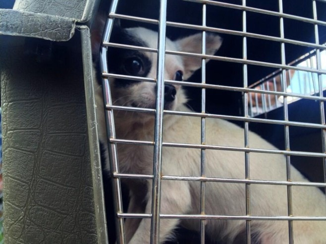 Stabbing Suspect Surrenders Twenty-Nine Chihuahuas