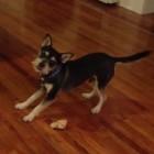 Cute Dog Has Interesting Way of Eating a Bone