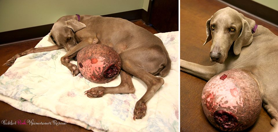 Twelve-Pound Tumor Removed from Rescued Weimaraner