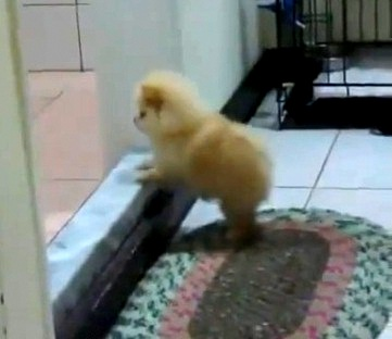 Pomeranian Puppy Can't Get Over Step