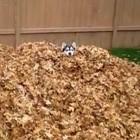 Siberian Husky Has Fun in the Leaves