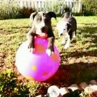 Pit Bull Puppies Play Ball