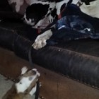 Mini Bulldog Tries to Take Great Dane for a Walk