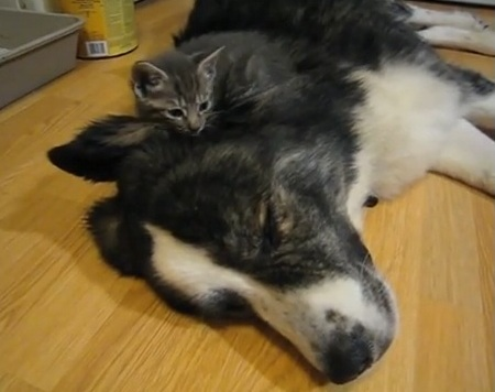 Kitties Sleeping on Puppy