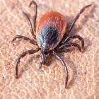 Relief from Ticks in the Fall and Winter? Not so, says the Tick Guy!