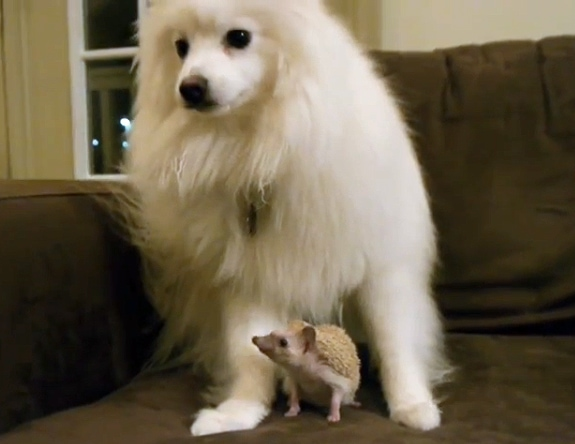 The Saturday Pet Blogger Hop: Dog Meets Hedgehog