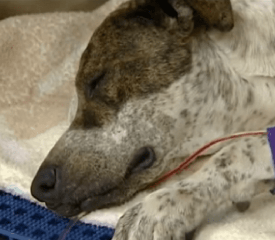 Dog Getting Second Chance after Surviving Being Hit by a Train