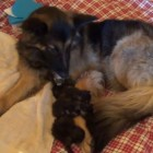 German Shepherd Adopts Orphan Kittens