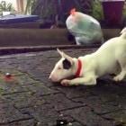 Bull Terrier Meets Crab