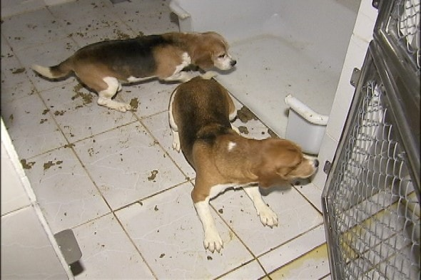 10.18.13 - Brazilian Beagles Saved2