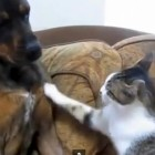 Cutest Dog and Cat Fight