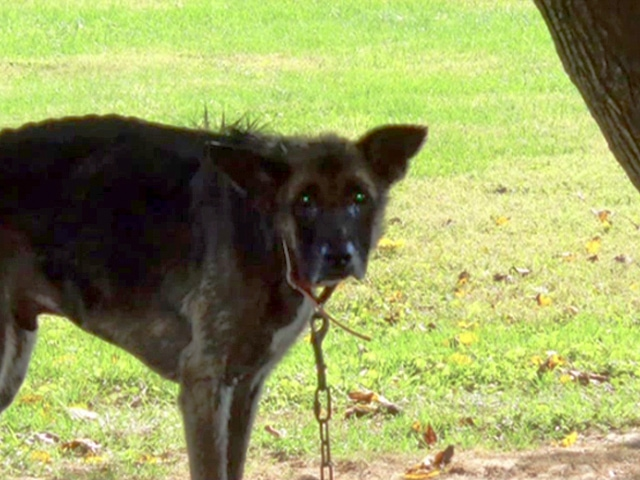 Dog Who Spent Four Years Chained to Tree is Rescued
