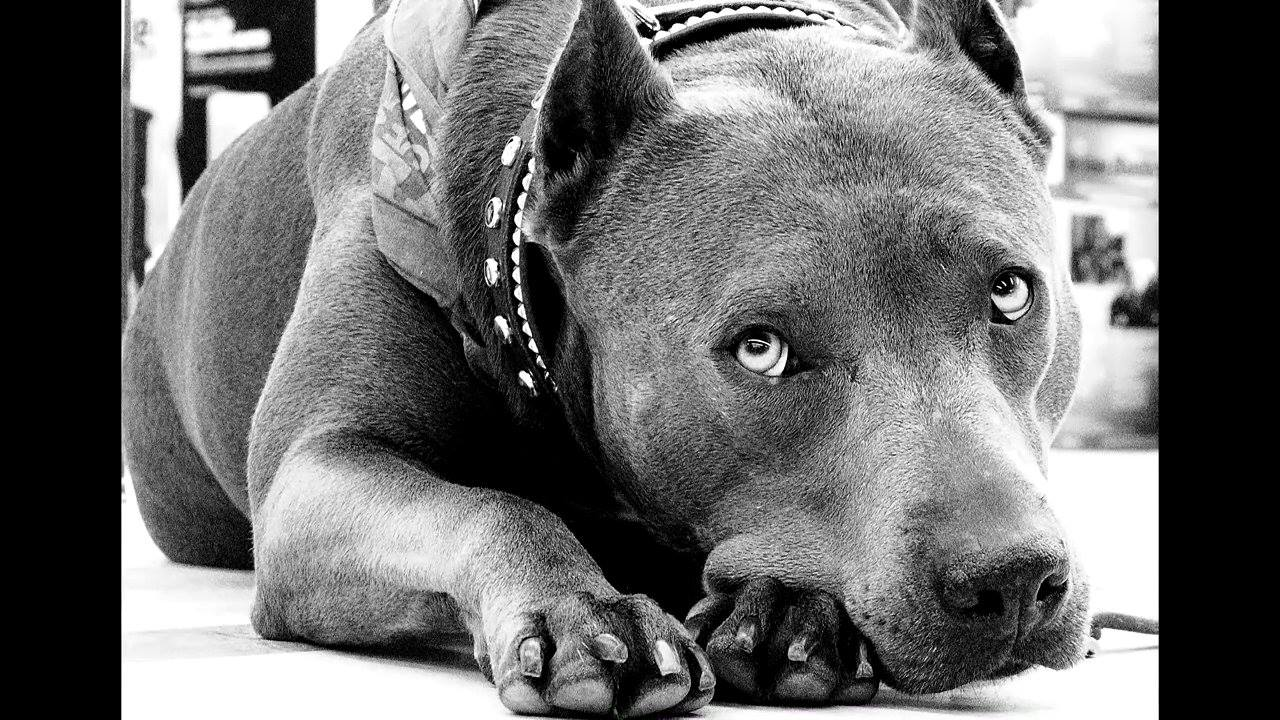 Pit Bull Named 2013 Hero Dog of the Year