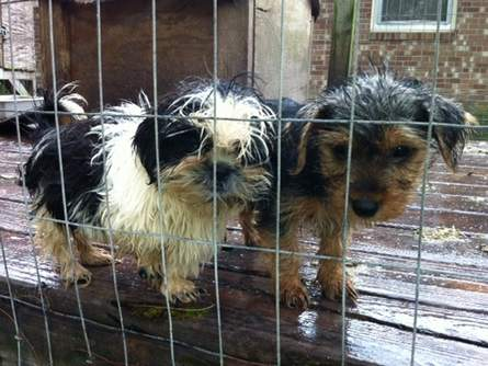 104 dogs rescued from N.C. puppy mill. Photo Credit: Humane Society