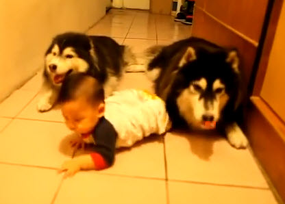 Watch Alaskan malamute Dogs Crawling Next to a Baby