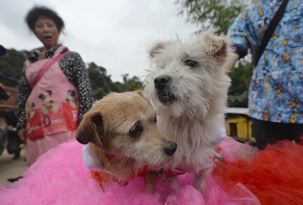 Dogs Injured in Earthquake Get Married