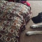 The Saturday Pet Blogger Hop: Dog tells cat to get off her bed
