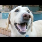 Blind Labrador Retriever Surrendered by Owners – Tails of Survival