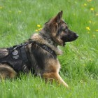 Edmonton Police Demanding Stricter Laws to Protect Police Dogs After K9 Killed