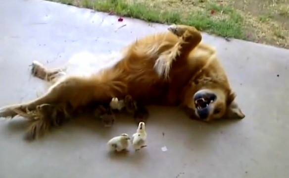 Dog Adopts 10 Chicks