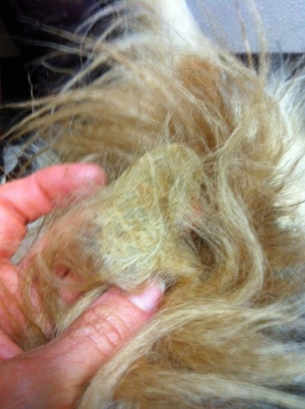Matted feces in fur.