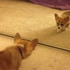 Welsh Corgi's Reaction to First Reflection