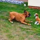 Boxer Tries to Get Fake Dog to Play
