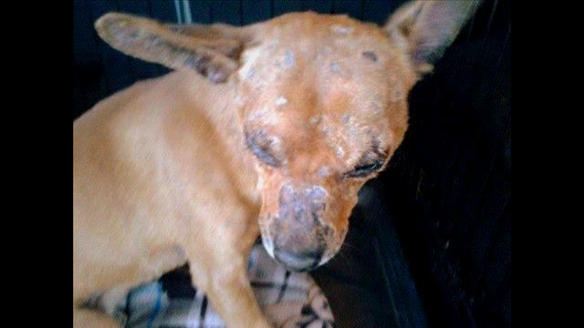 Abused Dog Rescued, Recovering and Looking for a Home