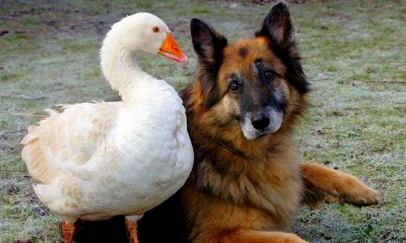 11.29.13 - Dangerous Dog & Goose1