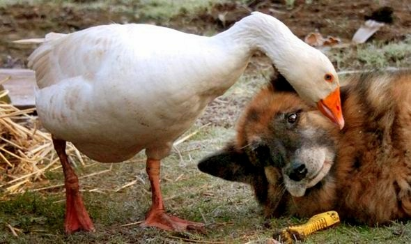 Dangerous Death Row Dog Saved By Love With A Goose Life