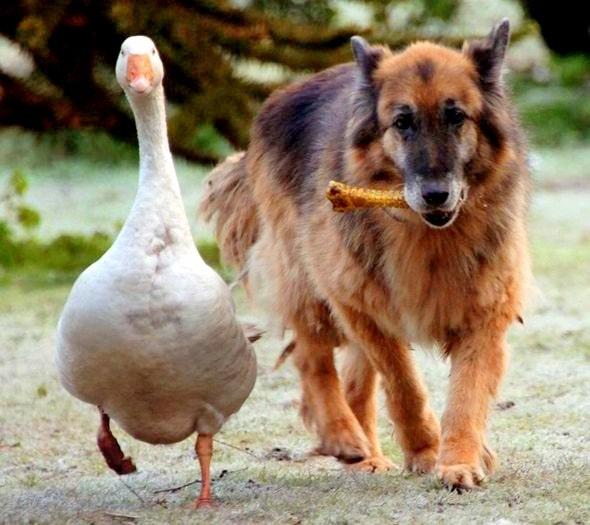 11.29.13 - Dangerous Dog & Goose4