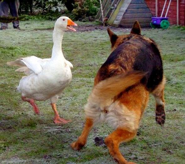 11.29.13 - Dangerous Dog & Goose5
