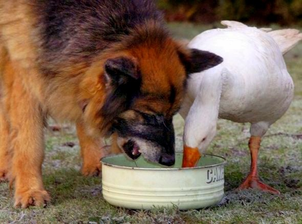 11.29.13 - Dangerous Dog & Goose6
