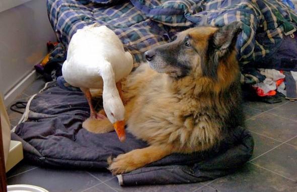 11.29.13 - Dangerous Dog & Goose7
