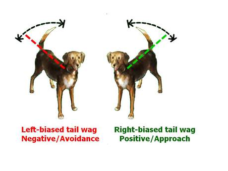Left or Right Tail Wags: What Your Dog is Telling You