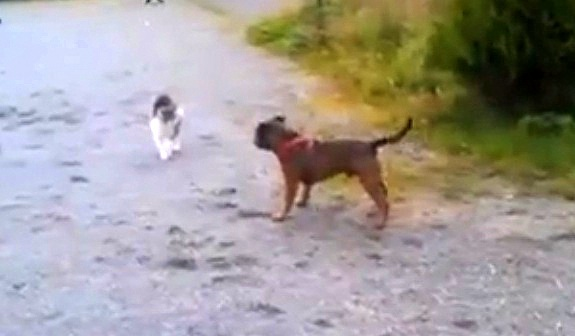 Staffy Meets Kitty