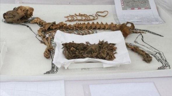 11.7.13 - Peruvian Dog Mummies Found1