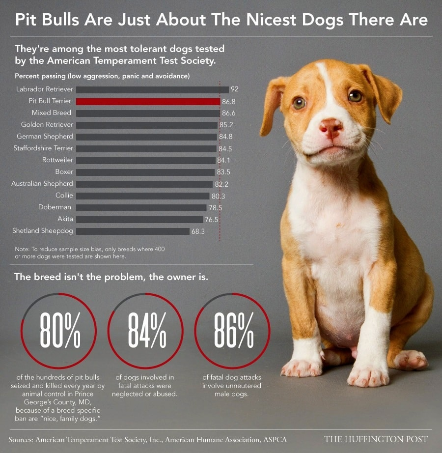 Pit Bulls Are Just About the Nicest Dogs There Are - LIFE