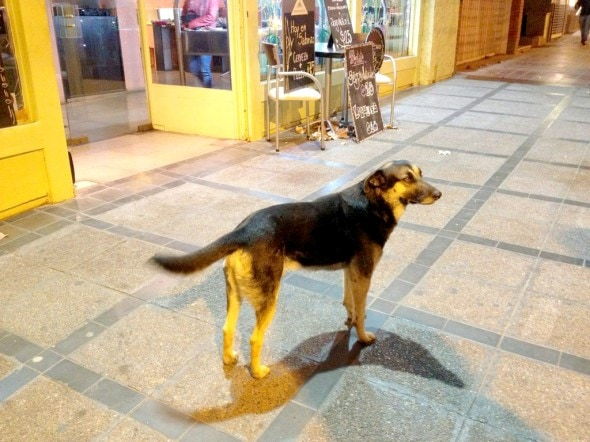Photo Credit: Stock Image – Argentinean Street Dog.