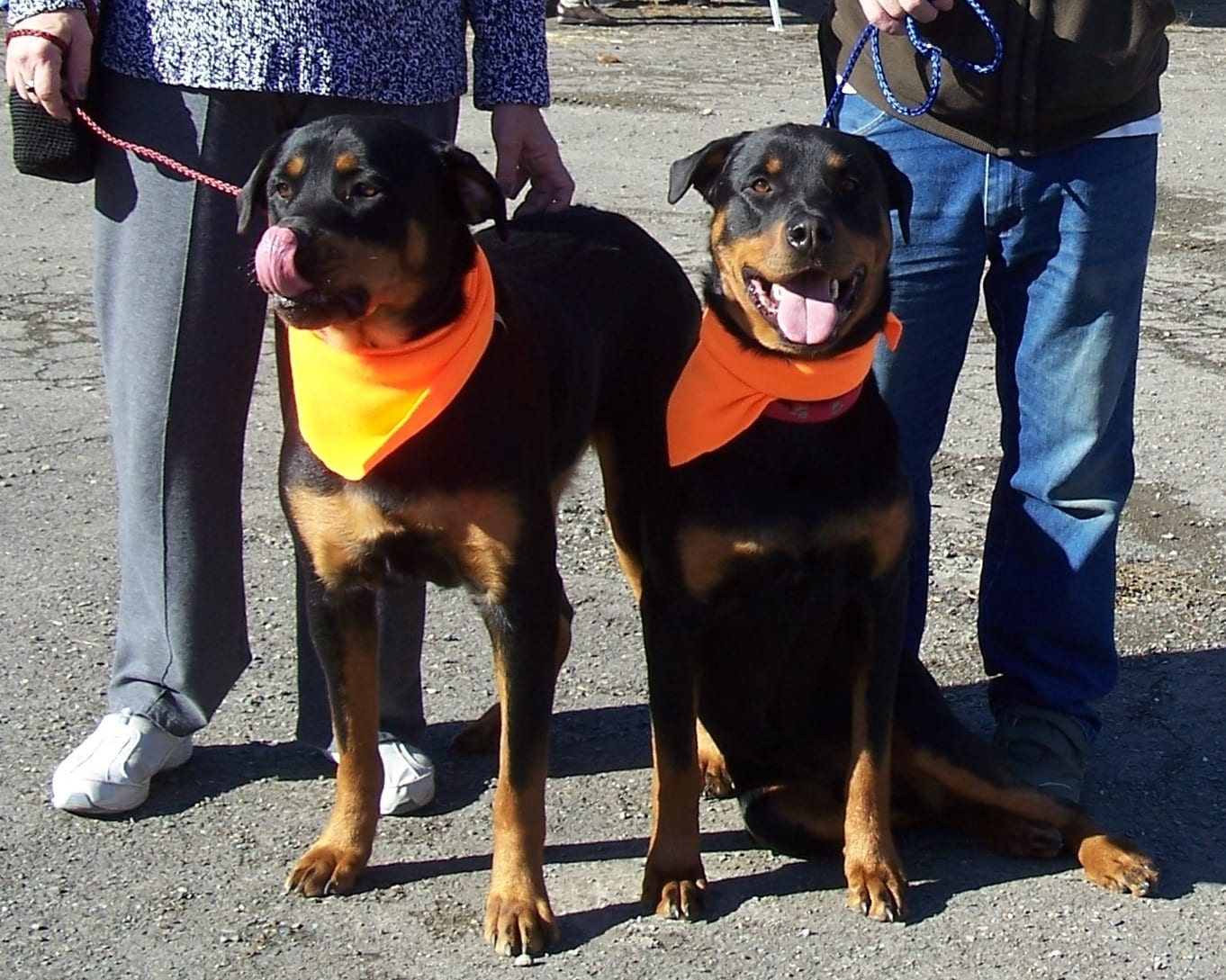 Brother Rottweilers Search for a Special Home