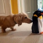 The Saturday Pet Blogger Hop: Dachshund meets toy penguin for the first time